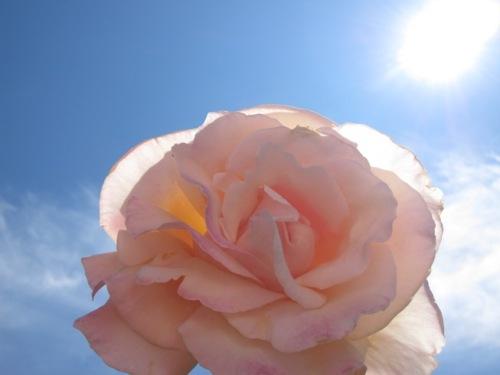 pink rose blue sky